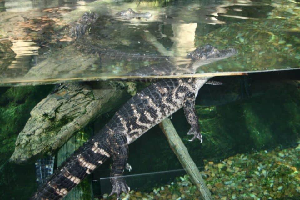 Soñar con cocodrilos en aguas claras