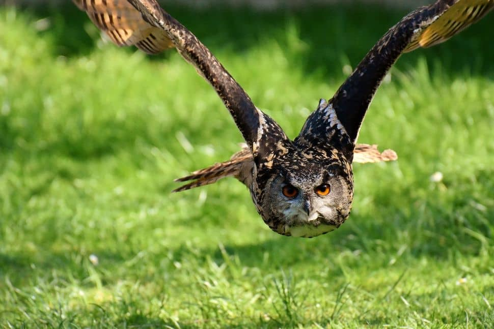 Soñar con búhos volando