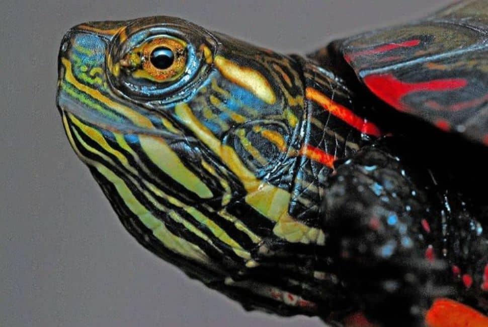 Soñar con tortugas de colores