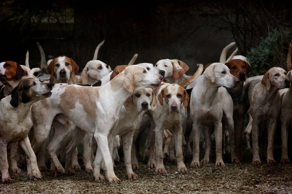 Soñar con manada de perros