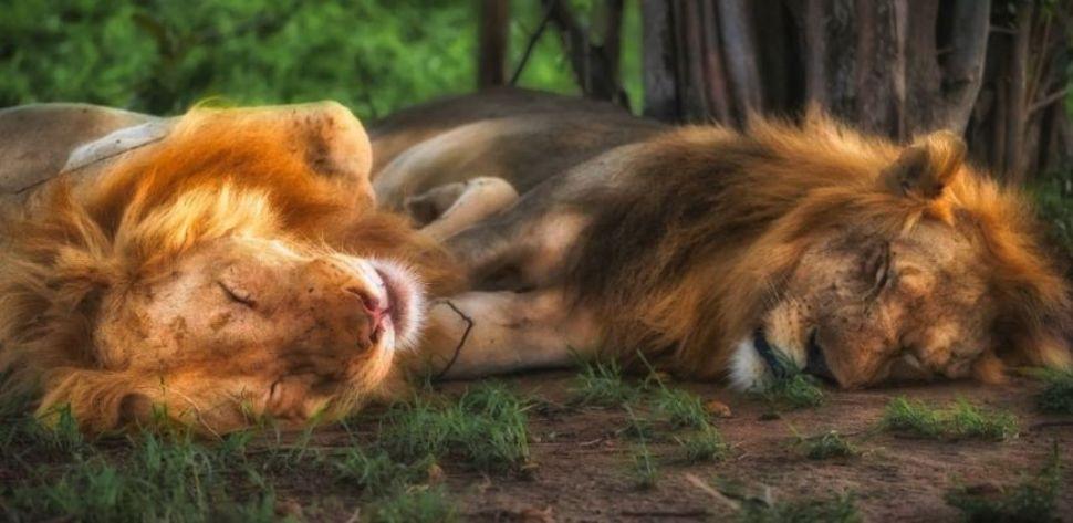 Soñar con una pareja de leones