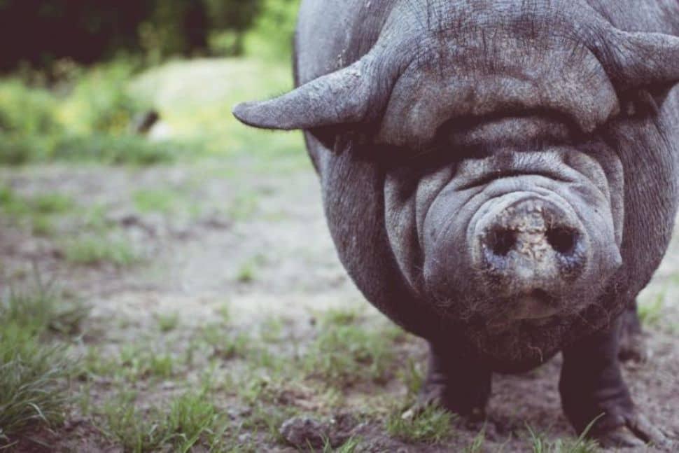 Soñar con cerdos gordos