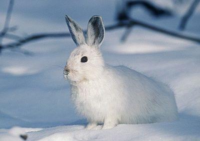 soñar con conejo blanco