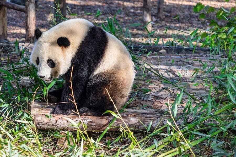 Soñar con osos pandas