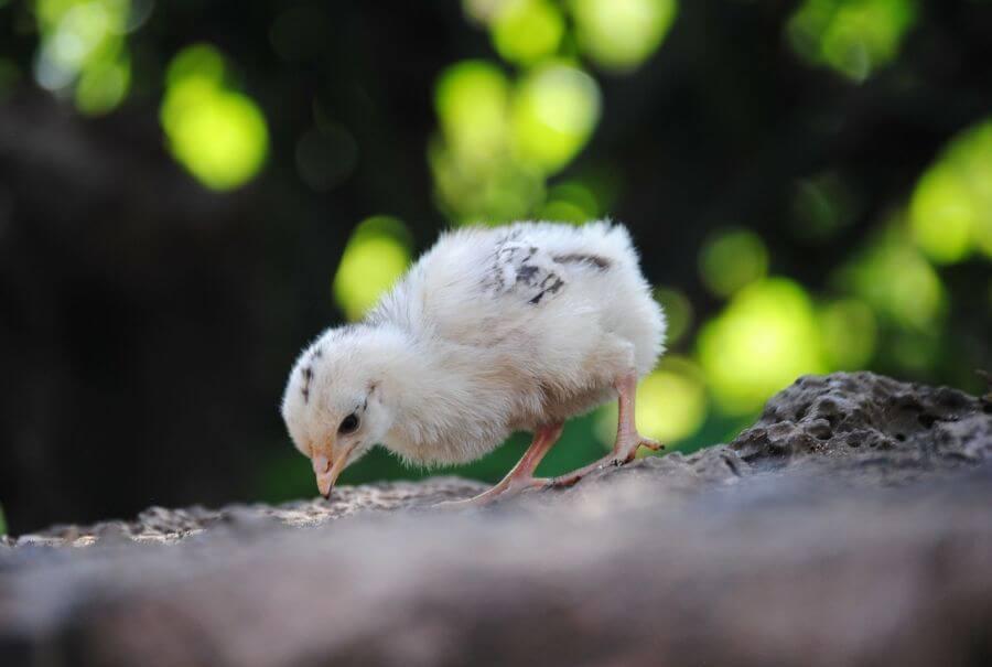 Soñar con gallinas y pollos