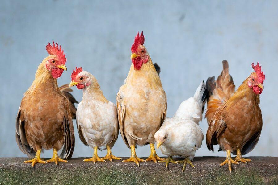 significado de soñar con gallinas