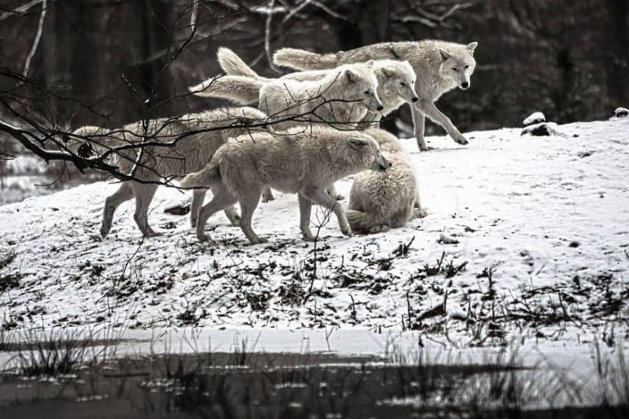 Soñar con manada de lobos