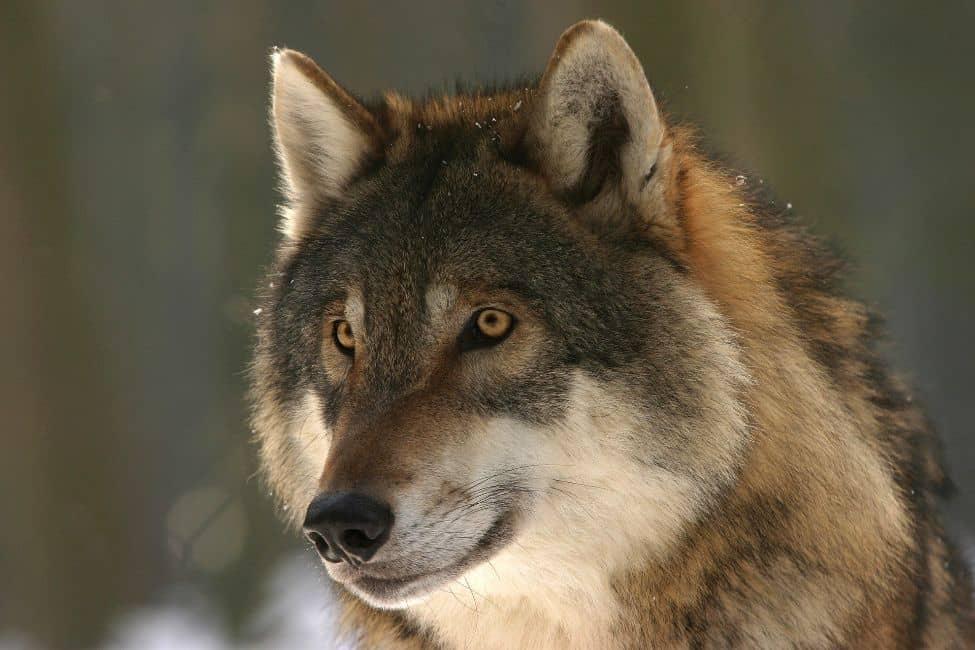 significado de soñar con lobos